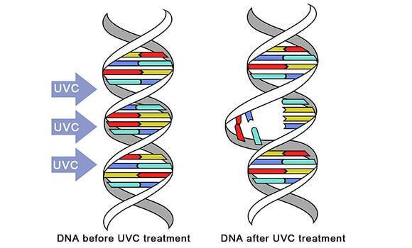 UVC irradiate DNA